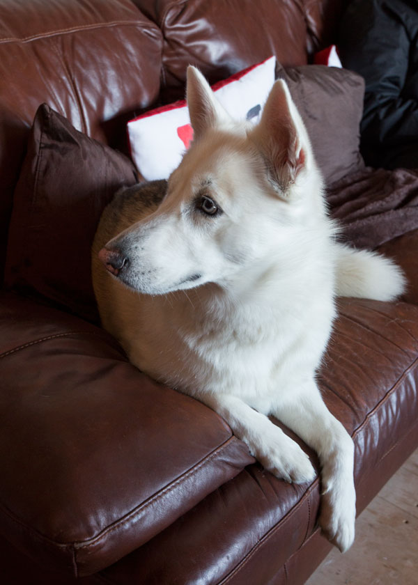 White husky with blue eyes sitting on red leather sofa