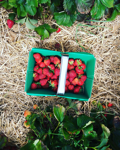 Strawberry picking at Eastfield farm tickhill